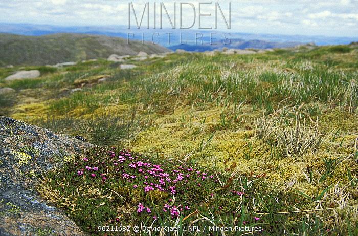 Trailing wild azalea in flower (Loiseleuria procumbens) Cairngorms, Scotland, UK  -  David Kjaer/ npl