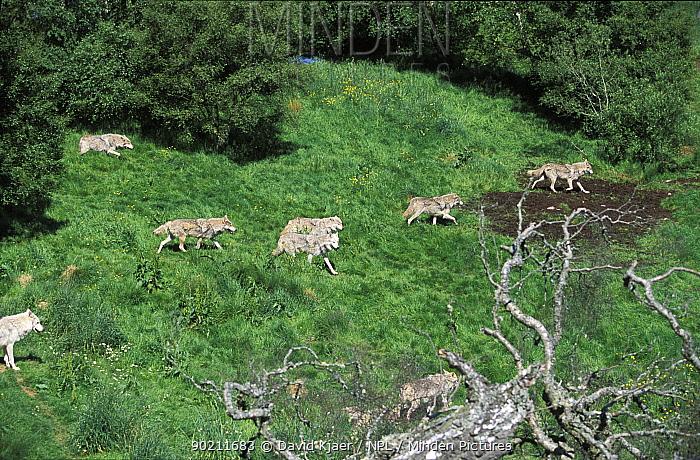 Pack of Grey wolves on hillside (Canis lupus) UK  -  David Kjaer/ npl