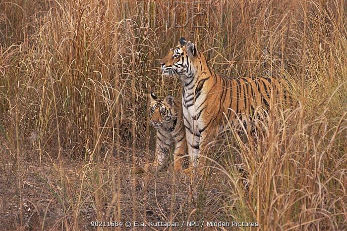 Bengal tigress with cub in grass (Panthera tigris tigris) Bandhavgah NP, Madhya Pradesh, India  -  E.A. Kuttapan/ npl