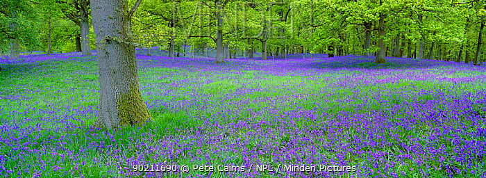 Bluebells flowering in beech wood Perthshire, Scotland, UK (Endymion nonscriptus)  -  Pete Cairns/ npl