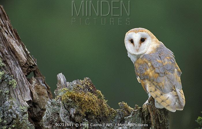 Barn owl perched on stump (Tyto alba) Cairngorms NP, Scotland, U  -  Pete Cairns/ npl