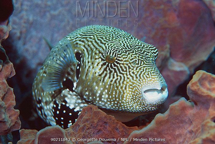 Map pufferfish (Arothron mappa) resting in sponge Indonesia  -  Georgette Douwma/ npl