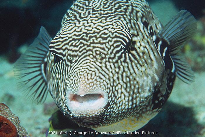 Map pufferfish portrait (Arothron mappa) Indonesia  -  Georgette Douwma/ npl