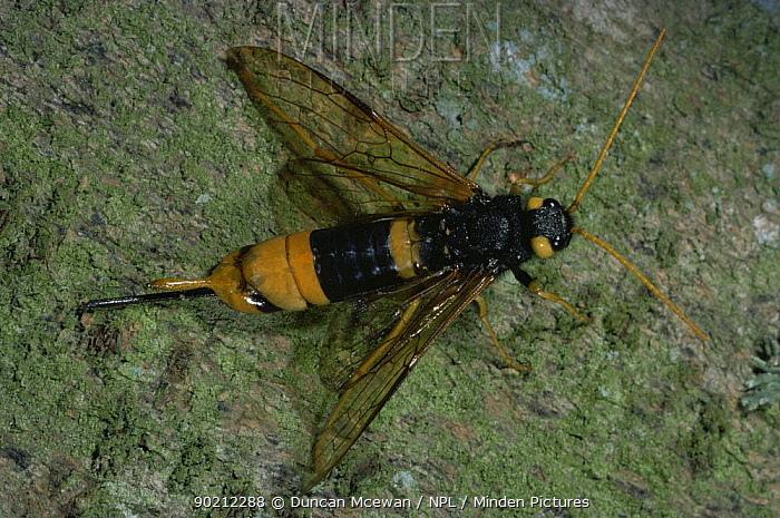 Giant woodwasp (Sirex gigas) showing sting, UK  -  Duncan McEwan/ npl