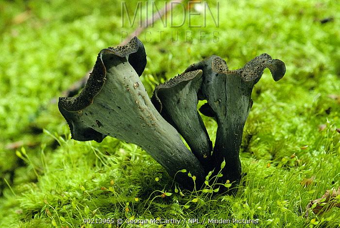 Horn Minden minden pictures stock photos horn of plenty fungus craterellus