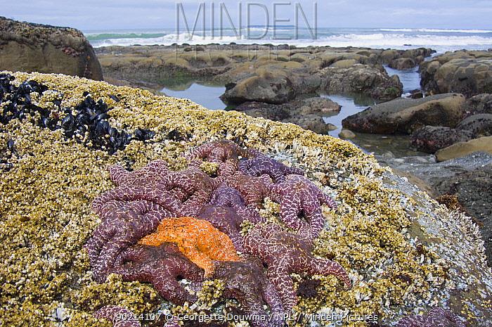 Ochre sea stars (Pisaster ochraeceus) exposed at low tide, Olympic National Park, Washington, USA  -  Georgette Douwma/ npl