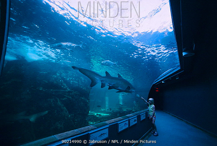 Girl watching Sand tiger shark in Two oceans aquarium, Cape Town, South Africa  -  Jabruson/ npl