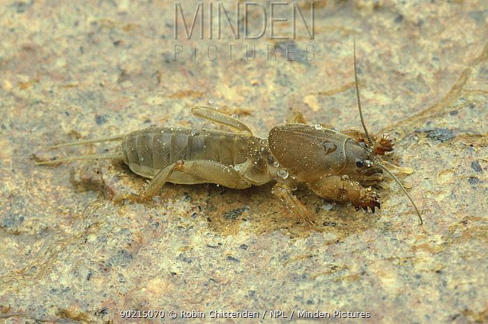European mole cricket (Gryllotalpa gryllotalpa) UK  -  Robin Chittenden/ npl