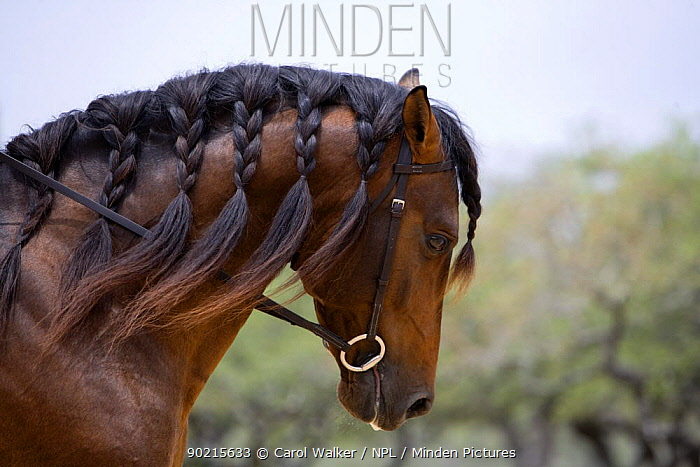 Bay Andalusian stallion (Equus caballus) with plaited mane and bridle, Austin Texas, USA  -  Carol Walker/ npl