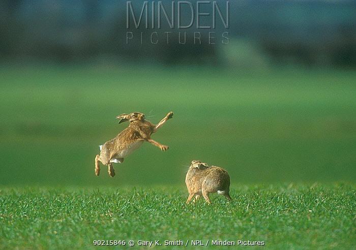 Brown Hares (Lepus europeaus) 'boxing' in spring, Norfolk, UK  -  Gary K. Smith/ npl