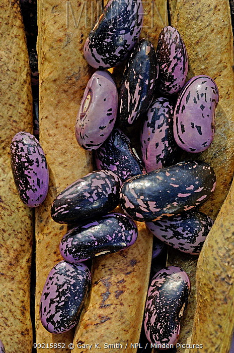 Runner Bean (Phaseolus coccineus) seeds and dried pods, UK  -  Gary K. Smith/ npl