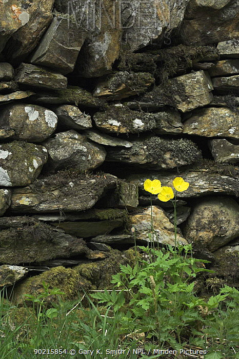 Welsh Poppies (Meconopsis cambrica) growing aginst dry stone wall, Cumbria, UK  -  Gary K. Smith/ npl