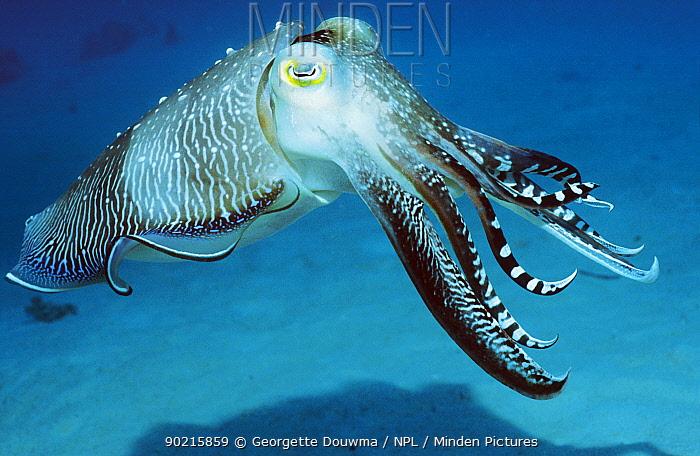 Broadclub cuttlefish (Sepia latimanus), male during mating season Borneo, Indonesia  -  Georgette Douwma/ npl