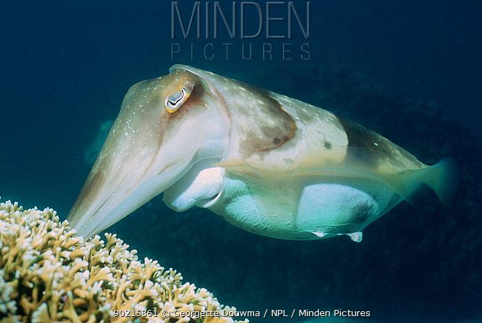 Broadclub cuttlefish (Sepia latimanus) Female depositing egg in branching fire coral Borneo, Indonesia  -  Georgette Douwma/ npl