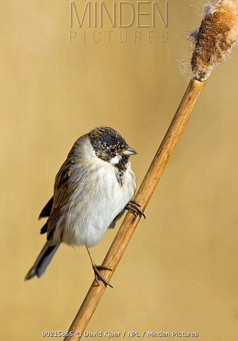 Minden Pictures Reed Bunting Emberiza Schoeniclus Male Uk David Kjaer Npl