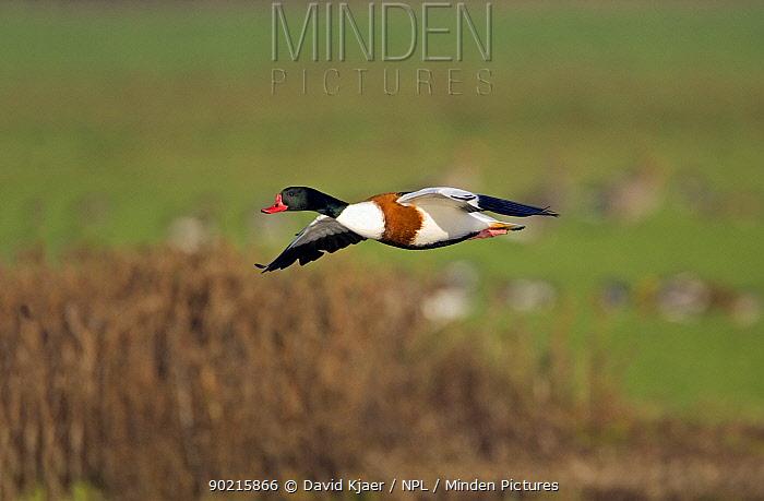 Male Shelduck (Tadorna tadorna) flying, UK  -  David Kjaer/ npl