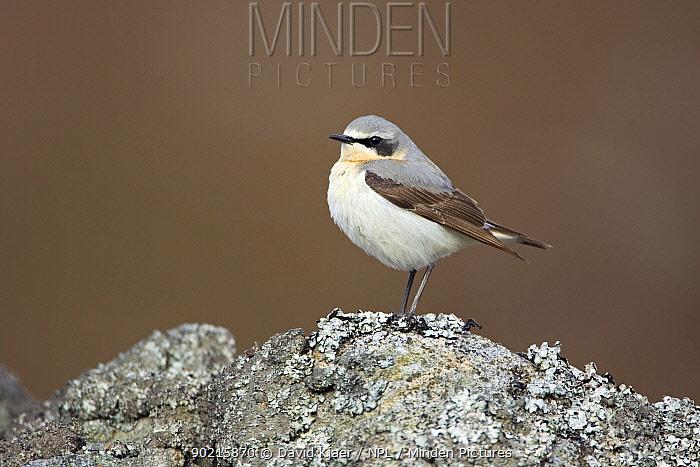 Male (Northern) Wheatear (Oenanthe oenanthe) Deeside UK  -  David Kjaer/ npl