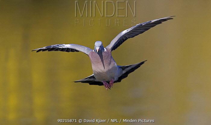 Wood Pigeon (Columba palumbus) in flight over water, Gloucestershire UK  -  David Kjaer/ npl