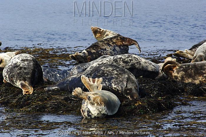 Grey seal (Halichoerus grypus) group resting on seaweed haulout, Bardsey island, Gwynedd, Northern Wales, UK  -  Mike Potts/ npl