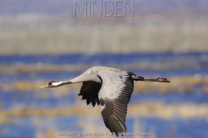 Common crane (Grus grus) in flight, Lake Hornborga, Southern Sweden  -  Mike Potts/ npl