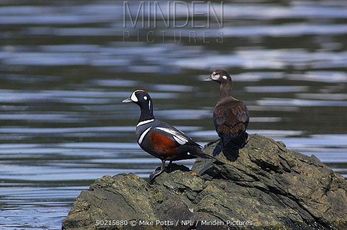 Harlequin Ducks (Histrionicus histrionicus) standing on rock during high tide, nr Juneau, Alaska, USA  -  Mike Potts/ npl