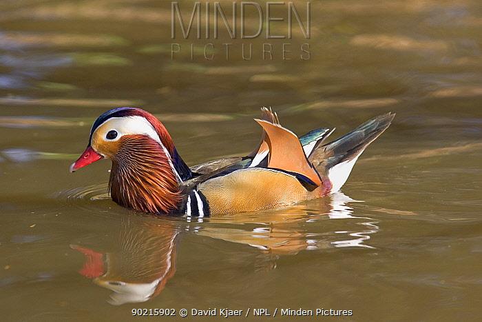 Male (Drake) Mandarin Duck (Aix galericulata) captive, UK  -  David Kjaer/ npl