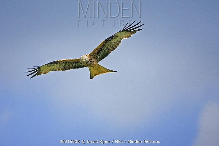High angle shot of Red Kite (Milvus milvus) in flight, Wales UK  -  David Kjaer/ npl