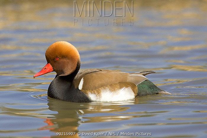 Red-crested Pochard duck (Netta ruffina) on water, captive UK  -  David Kjaer/ npl