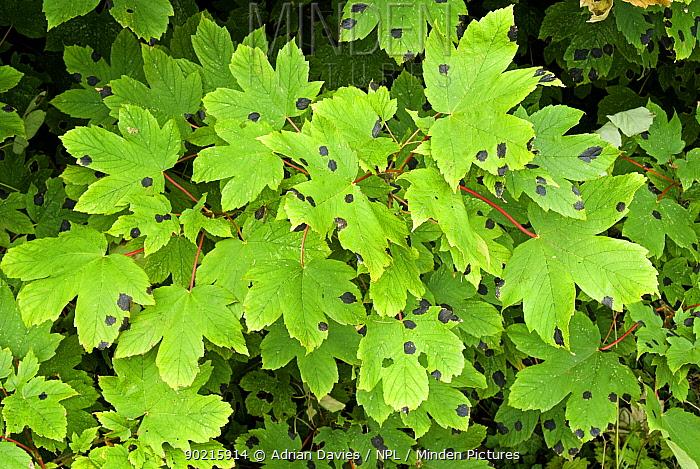 Tar Spot Fungus (Rhytisma acerinum) on Sycamore leaves (Acer pseudoplatanus), Autumn, UK  -  Adrian Davies/ npl