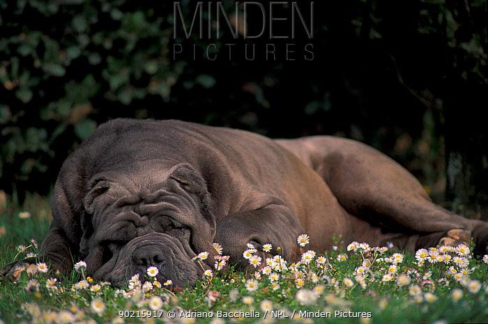 Domestic dog, brown Neopolitan Mastiff sleeping amongst daisies  -  Adriano Bacchella/ npl