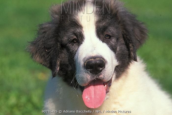 Domestic dog, young Pyrenean Mastiff panting  -  Adriano Bacchella/ npl