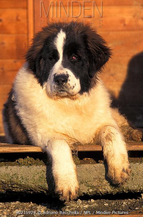 Domestic dog, young Pyrenean Mastiff resting  -  Adriano Bacchella/ npl