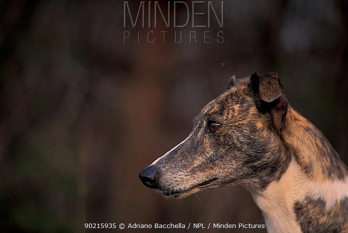 Domestic dog, brinlded Magyar Ag�r, Hungarian Greyhound face profile  -  Adriano Bacchella/ npl