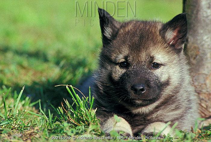 Domestic dog, Norwegian Elkhound puppy lying in grass  -  Adriano Bacchella/ npl