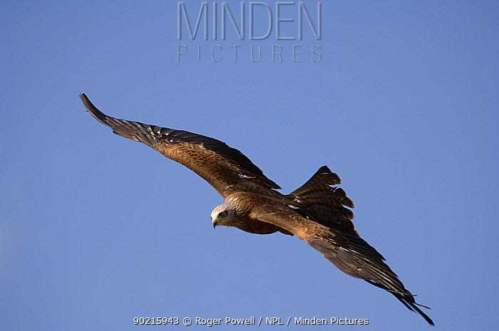 Black Kite (Milvus migrans) in flight, Extremadura, Spain  -  Roger Powell/ npl