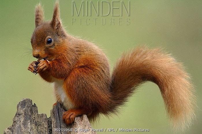 Red Squirrel (Sciurus vulgaris) feeding, Northumberland, UK  -  Roger Powell/ npl