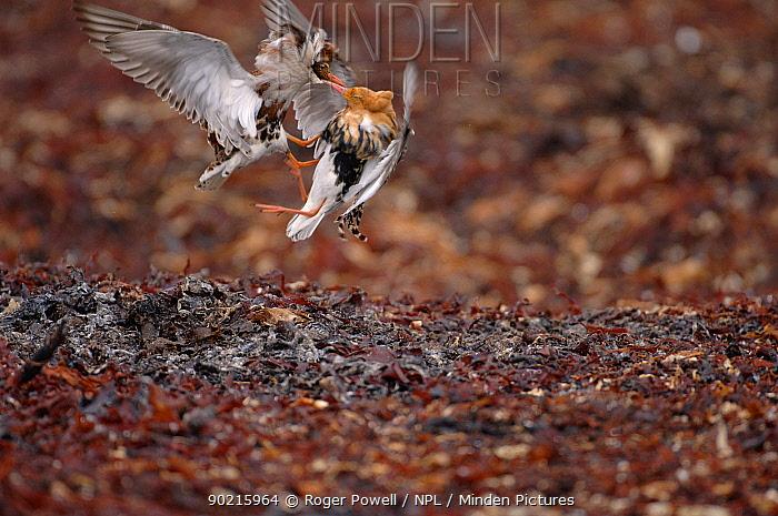 Ruffs (Philomachus pugnax) fighting mid-air, Varangerfjord, Arctic Norway  -  Roger Powell/ npl
