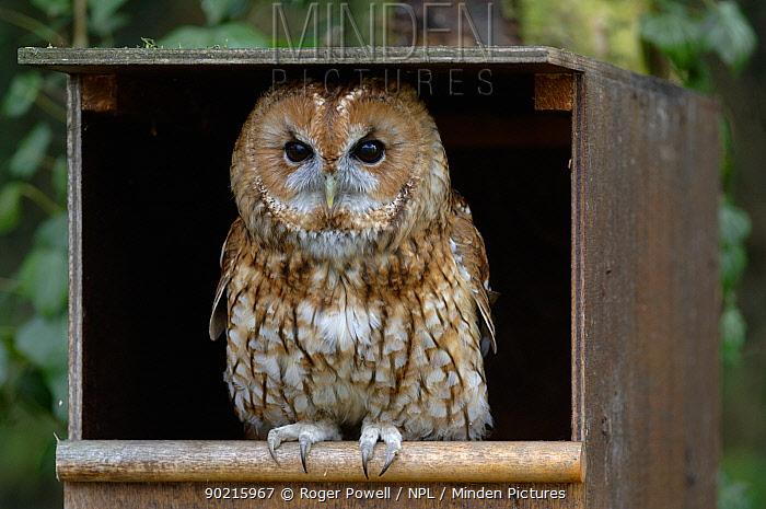 Tawny Owl (Strix aluco) at entrance of nest box,  -  Roger Powell/ npl