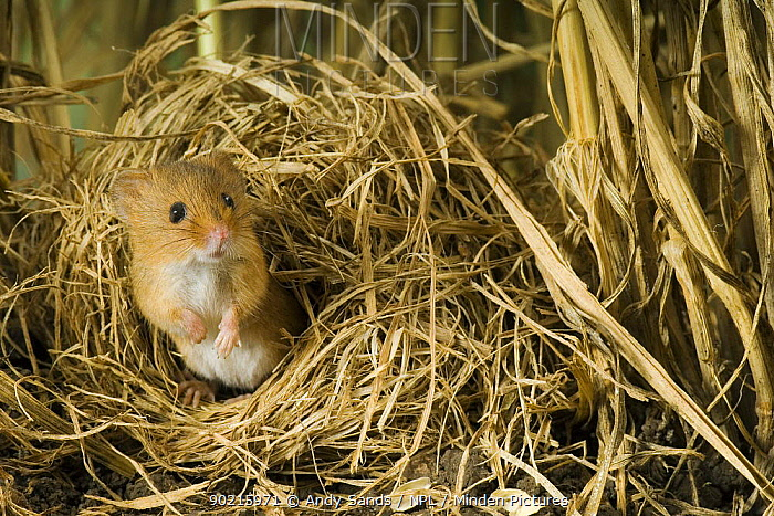 Harvest mouse (Micromys minutus) looking out of ground nest in corn, captive, UK  -  Andy Sands/ npl