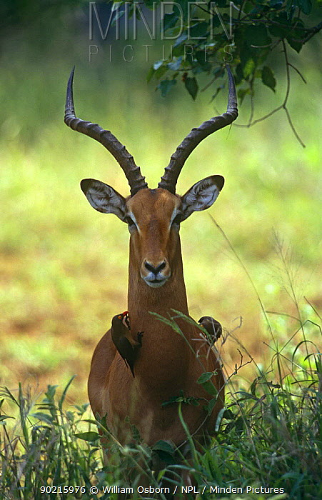 Male Impala (Aepyceros melamous) portrait with red-billed Oxpecker, Kruger NP, South Africa  -  William Osborn/ npl
