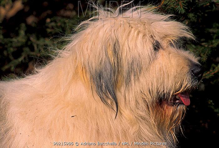 Domestic dog, Yugoslavian Shepherd Dog in profile  -  Adriano Bacchella/ npl