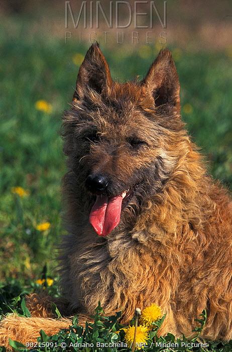 Domestic dog, Belgian Shepherd Dog, Laekenois portrait  -  Adriano Bacchella/ npl
