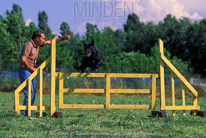 Domestic dog, Belgian Shepherd Dog, Malinois jumping over fence in an assault course  -  Adriano Bacchella/ npl