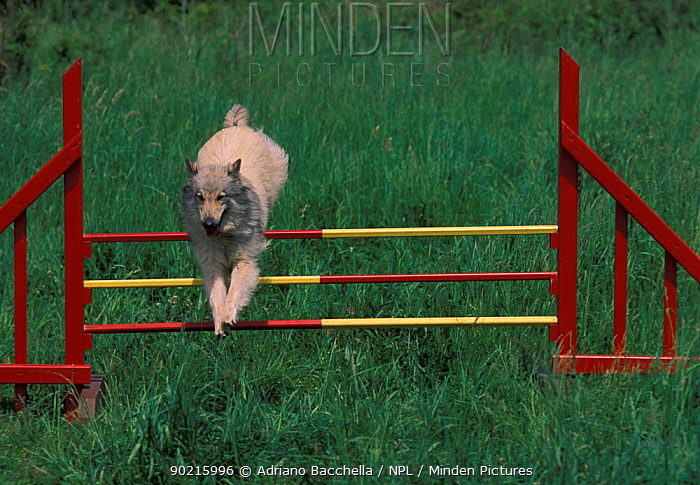 Domestic dog, Belgian Shepherd Dog, Tervueren jumping over fence in an assault course  -  Adriano Bacchella/ npl