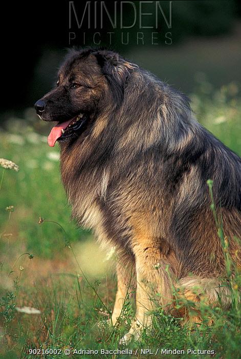 Domestic dog, Estrela Mountain Dog sitting portrait  -  Adriano Bacchella/ npl