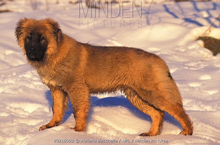 Domestic dog, Estrela Mountain Dog juvenile standing in snow  -  Adriano Bacchella/ npl