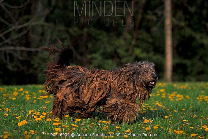 Domestic dog, Bergamasco walking in field of dandelions  -  Adriano Bacchella/ npl