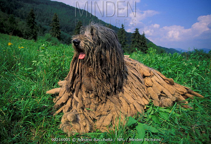 Domestic dog, Bergamasco resting on grass, hair 'flocks' clearly visible  -  Adriano Bacchella/ npl