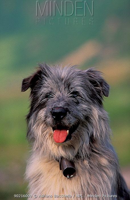 Domestic dog, Pyrenean Sheepdog portrait  -  Adriano Bacchella/ npl