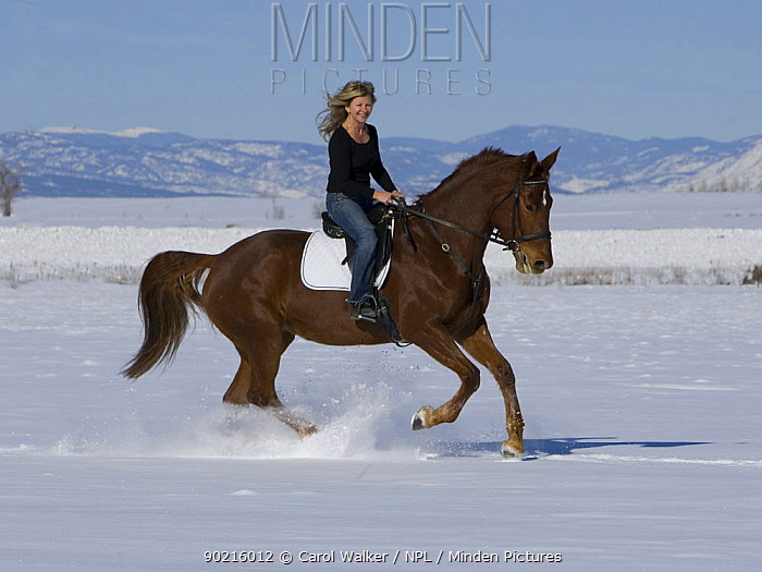Woman riding chestnut Dutch warmblood mare, cantering in snow, Longmont, Colorado, USA Model released  -  Carol Walker/ npl